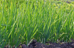 Green onions growing in garden Stock Photo