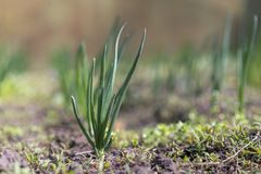 Green onions growing in the greenhouse. Young spring rows onions in the ground.  Royalty Free Stock Photos