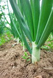 Green onions. Photography of green onions in garden Stock Photo