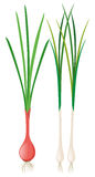Green onions with roots Stock Photo