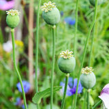 Green opium poppy heads. Royalty Free Stock Photo