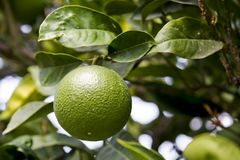 Green Orange. Unripe green orange hanging on a branch. Shallow depth of field. Focus on the fruit Stock Photography