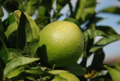 Green orange. Green and unripe orange on a tree royalty free stock images