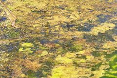 Green and orange algae on the river. Pollution of the environment. Royalty Free Stock Images