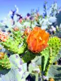 Green and Orange Cactus royalty free stock photography