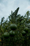 Green orange friut. In my garden royalty free stock image