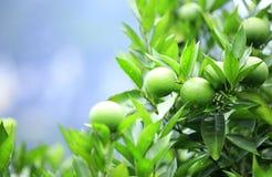 Green orange fruit Stock Photo