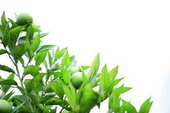 Green orange fruit Stock Image