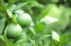 Green orange fruit Royalty Free Stock Photography