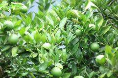 Green orange fruit Stock Photography