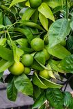Green orange fruits on plant from citrus sinensis orange tree close up. Many fruits on plant from citrus sinensis orange tree close up Stock Image
