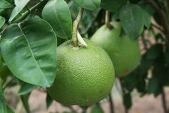 Green orange kinnow hanging on tree. `Kinnow` is a high yield mandarin hybrid cultivated extensively in the wider Punjab region of Pakistan and India royalty free stock photography