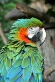 Green/Orange Macaw Royalty Free Stock Photo