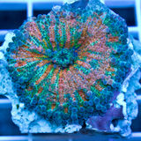 Green and orange mushroom coral. Ricordea yuma coral polyp macro Stock Photography