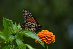 Green and Orange. Orange zinnia and monarch butterfly royalty free stock photos