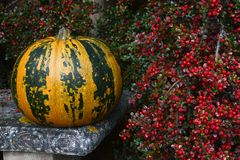 Green and orange striped pumpkin with bright red berries Stock Photos