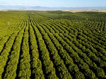 Free Green Orange Stripes - Orange Grove Rows Point To The Foothills Stock Photos - 131203523