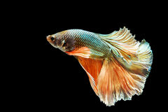 Green and orange Thai fighting fish Stock Image