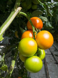 Green and orange tomatoes Stock Photo