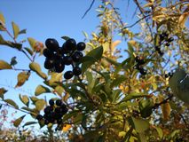 Black berries on a blue sky background stock images