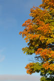 Green, Orange and Yellow Tree. In the fall Royalty Free Stock Photo