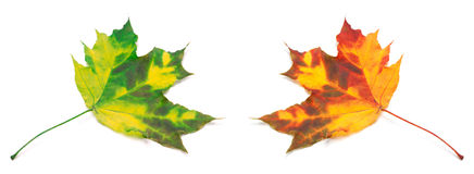 Green and orange yellowed maple-leafs. Stock Photography