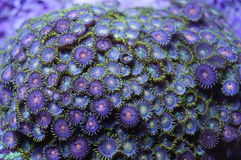 Green and Orange Zoanthid coral. Detail of bright green and orange zoanthid coral colony underwater Stock Photo