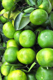 Green oranges Stock Photography