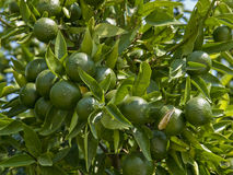 The green oranges Stock Images