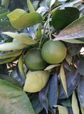 Green Oranges. Fruits on a tree stock photo