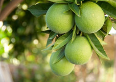 Green oranges hanging from a tree Stock Photo