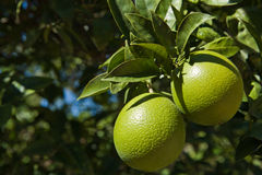 Green oranges Royalty Free Stock Photo