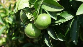 Green oranges in the tree Royalty Free Stock Photos