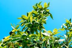 Green Oranges In Orange Tree Stock Image
