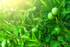 Green oranges ripening on a branch of a tree - Croatia, island Brac. Green oranges ripening on a branch of a tree - Croatia, Brac island Stock Photography