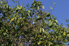 Green oranges on tree. Green oranges hanging on a tree Royalty Free Stock Images