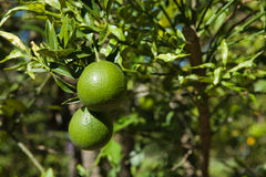 Green oranges on tree Stock Images