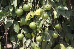 Green Oranges on The Tree Stock Photos
