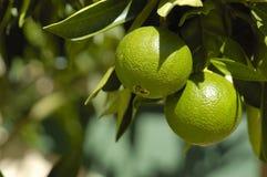 Green oranges Stock Image