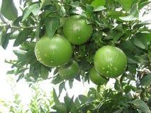 Green oranges Stock Photos