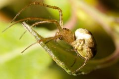Green Orb Spider Stock Image