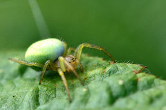 Green orb-weaver (Araniella sp.). A female spider in the family Araneidae, with distinctive green abdomen Royalty Free Stock Photos