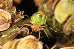 Green orb-weaver spider. Araniella cucurbitina, common in Europe Stock Photo