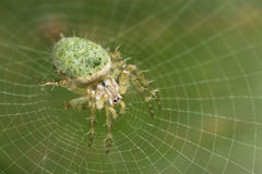 Green Orb-web spider. On net Royalty Free Stock Photography