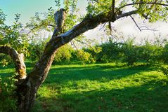 Green Orchard Royalty Free Stock Images