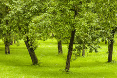 Green orchard in the garden. Royalty Free Stock Photos