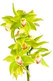Green orchid Stock Images