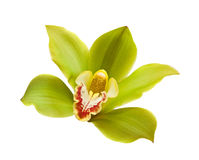 Green orchid. Flower green orchid isolated on a white background Stock Photo