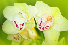 Green Orchid Royalty Free Stock Photo