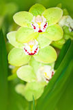 Green Orchid Royalty Free Stock Images